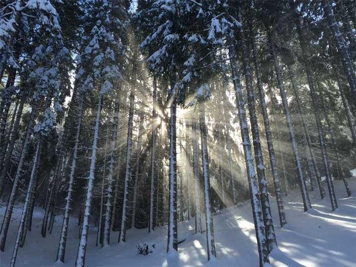 Naaldhout Soorten Verschillen Voordelen en Nadelen